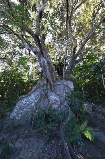 日本最大のサキシマスオウの木