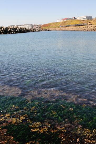 昆布の育つ海