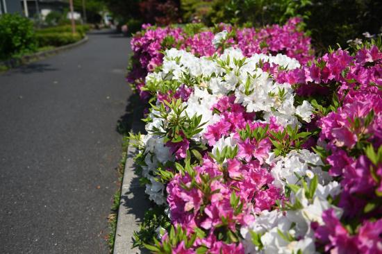 緑道緑地に咲くオオムラサキツツジ