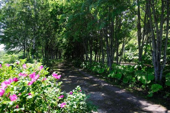 ハマナス咲く遊歩道