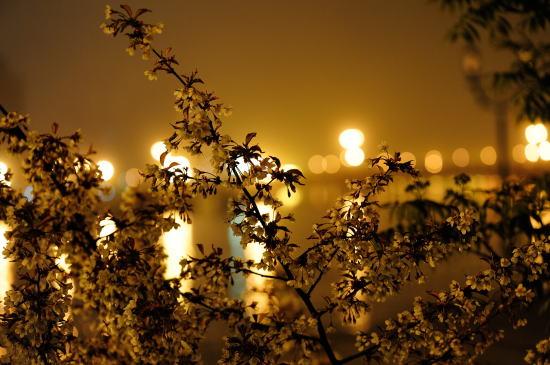 霧の夜の釧路川とエゾヤマザクラ