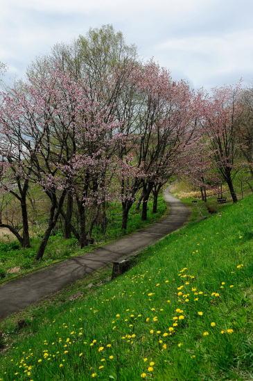 春採湖畔のエゾヤマザクラ