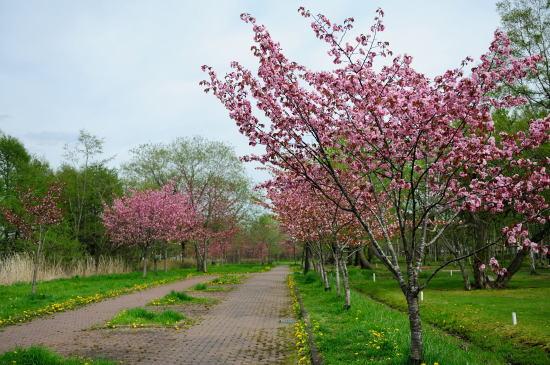 柳町公園のクシロヤエ