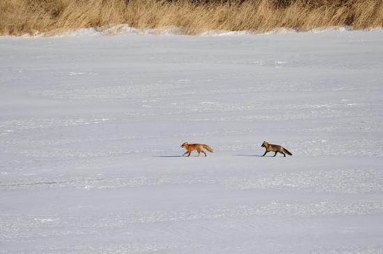 春採湖のキタキツネ
