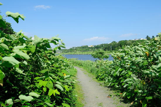 イタドリの茂る春採湖畔の道