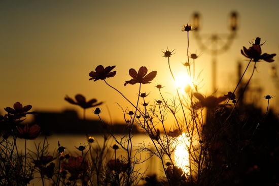 コスモスと釧路川の夕日