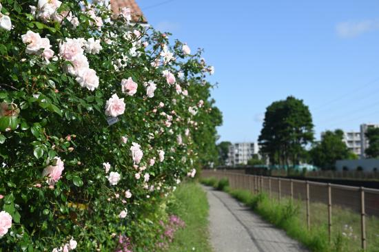 バラの花咲くサイクリングロード