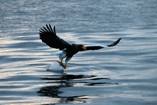 海の狩人~オオワシ