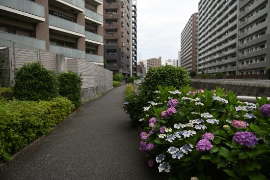紫陽花の咲くサイクリングロード