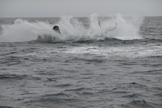 シャチのジャンプ